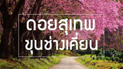 ชมดอกซากุระเมืองไทย หน้าหนาวนี้ต้อง ขุนช่างเคี่ยน จังหวัดเชียงใหม่