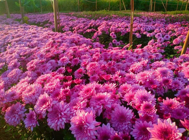 สวนดอกไม้เบญจมาศ