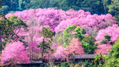 เที่ยวเชียงใหม่ เพื่อชมความงามของดอกนางพญาเสือโคร่ง หรือซากูระเมืองไทย